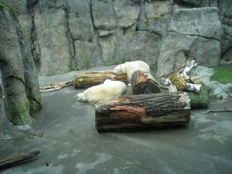 polar-bears01