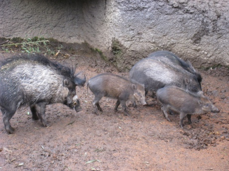 visayan-warty-pig-family
